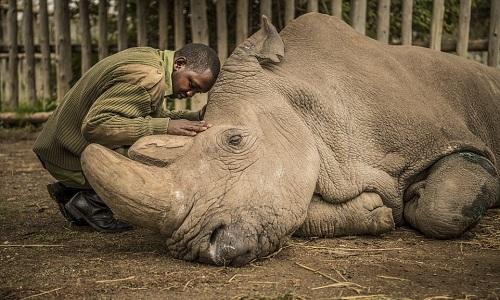 Hình ảnh trước lúc chết của tê giác trắng Bắc Phi đực cuối cùng