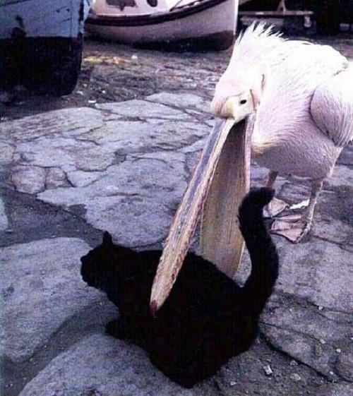 Hậu quảviệc cướp cá của bồ nông.