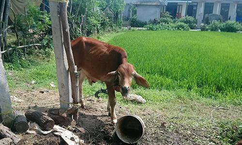 Quảng Trị xác minh việc cấp bò giống cho người thân cán bộ xã