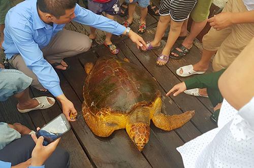 Cá thể rùa nặng 80 kg mà anh Trường bắt được. Ảnh: Đức Hùng