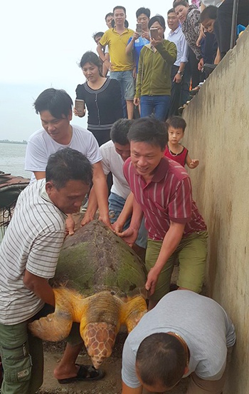 Người dân và nhà chức trách đưa rùa thả lại biển. Ảnh: Đức Hùng