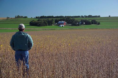 Nông dân trồng đậu này ở Mỹ có thể chịu thiệt hại lớn nếu cuộc chiến thương mại Mỹ - Trung nổ ra. Ảnh: MSA.