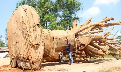 Kiểm lâm Huế: Ba cây cổ thụ quá khổ, quá tải có hồ sơ đầy đủ