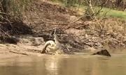 Cá sấu nước mặn 5 mét ăn thịt đồng loại trên sông Australia