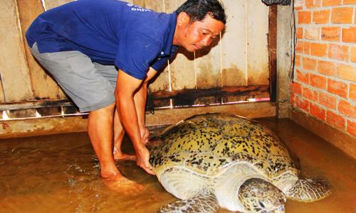 Rùa 120 kg được thả về biển ở miền Tây