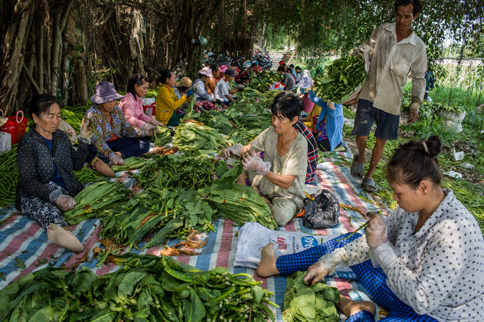 Cánh đồng thuốc lào lớn nhất Sài Gòn vào mùa thu hoạch