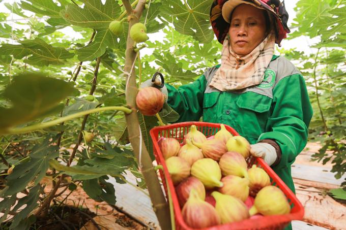 Trang trại sung Mỹ thu hoạch hàng trăm ký mỗi ngày ở Đồng Nai