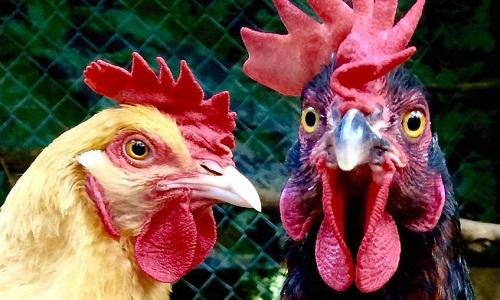 Hơn 2.200 con gà được sử dụng để đối phó với nạn châu chấu hoành hành ở tỉnh Tân Cương. Ảnh: Flickr.