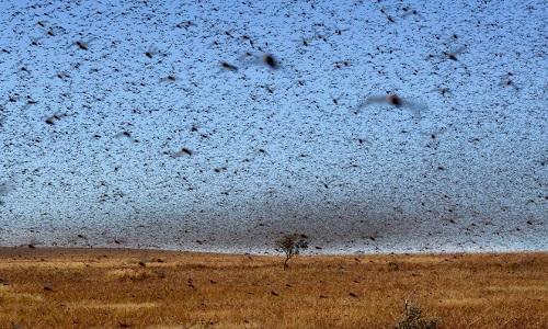 Châu chấu phá hoại mùa màng, làm giảm diện tích đất đồng cỏ cho chăn nuôi. Ảnh: AFP.