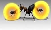 Tuyệt chiêu tự nổ bụng để bảo vệ tổ của kiến thợ