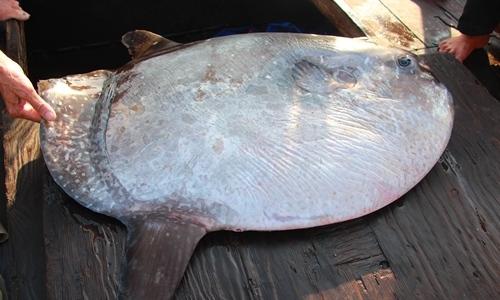 Ngư dân câu được cá mặt trăng nặng 32kg