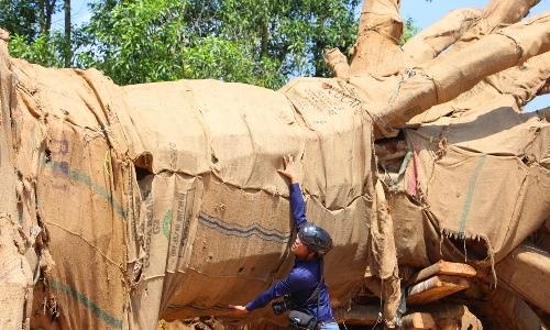 Phó thủ tướng yêu cầu làm rõ trách nhiệm vụ xe chở cây quá tải trên đường