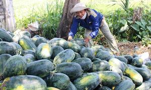 Gần 2.000 tấn dưa hấu ứ đọng ở Quảng Nam