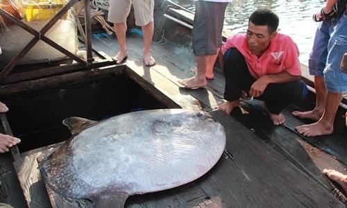 Ngư dân muốn tặng cá mặt trăng cho bảo tàng