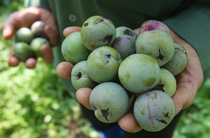 Nông dân Sơn La thu hoạch mận sớm do mất mùa