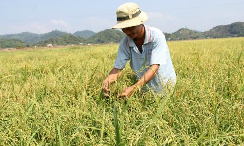 Thương lái săn mua nếp Quýt trồng trên cao nguyên Lâm Đồng