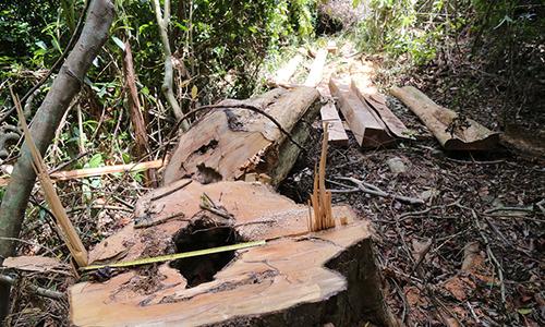 Kiểm lâm phát hiện 20 m3 gỗ lậu giữa rừng Quảng Trị