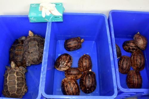 13 con rắn hổ mang chúa giấu trong nhà dân tại Quảng Nam - ảnh 1