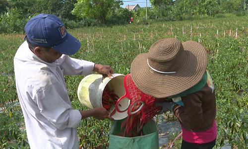 Quảng Trị kêu gọi mỗi công chức mua 9 kg ớt
