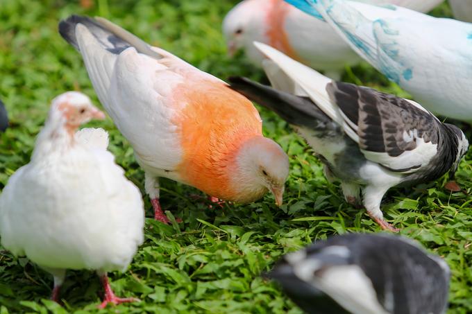 Hơn 700 con bồ câu bay lượn trước nhà thờ Đức Bà