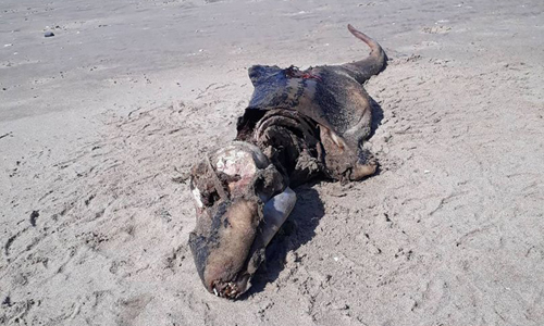 Xác sinh vật chưa rõ loài trên bãi biển Rhossili. Ảnh:Beth Jannetta.
