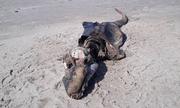 Xác sinh vật biển giống cá sấu dạt vào bãi biển Anh