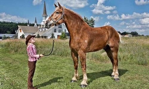 Big Jake thuộc giống ngựa Bỉ. Ảnh: CNN.