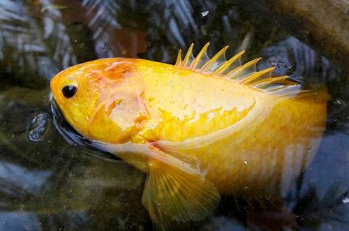 Cá rô vàng óng do anh Thế giăng lưới bắt được trong mương vườn nhà. Ảnh: