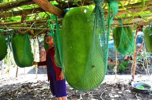 Những trái bí nhà bà Én được mắc võng để không bị rớt khỏi giàn. Ảnh: Phạm Linh.