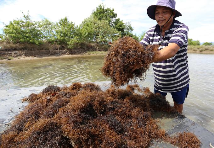 Người dân Quảng Nam trồng rong câu chỉ vàng thu tiền triệu