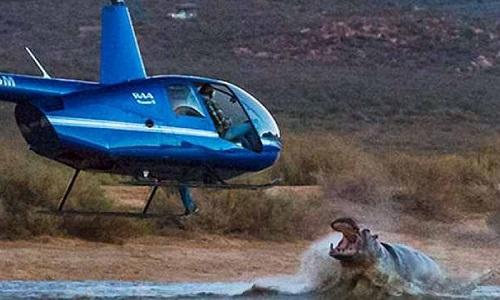 Con hà mã hung dữ tấn công trực thăng bay trên mặt nước. Ảnh: Albert Jansen van Roosendaal.