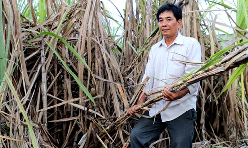 Anh Huỳnh Văn Hiền thất thần bên ruộng mía bỏ chết khô vì thu hoạch lỗ công. Ảnh: Hoàng Nam.