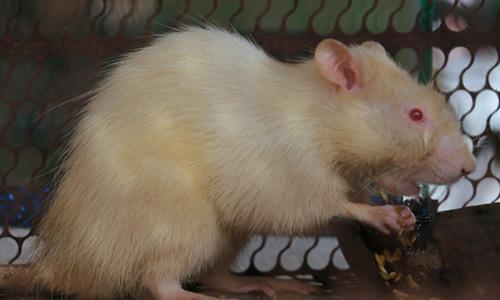 Chuột cống toàn thân có màu trắng được người dân nuôi làm cảnh: Ảnh: Hoàng Nam