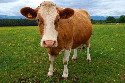 Tại sao tôi không thấy con bò?