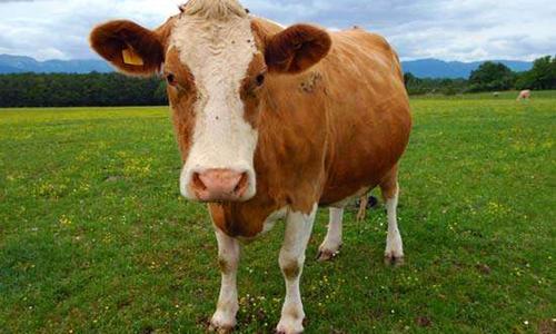 Tại sao tôi không thấy con bò? -