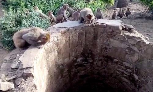 Rơi xuống giếng sâu 8 mét, báo hoa thoát chết nhờ đàn khỉ