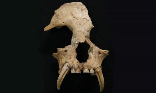 Hộp sọ củaJunzi imperialis khác hẳn 20 loài vượn còn sống ngày nay. Ảnh: ZSL.