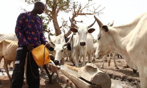 Một người Fulani đang cho gia súc uống nước. Ảnh: AFP.