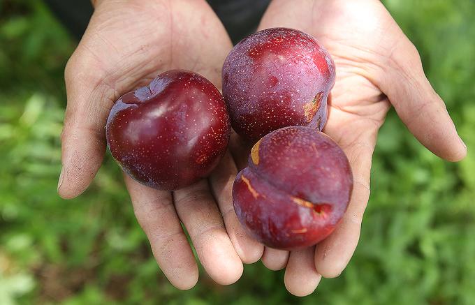 Mận đỏ khổng lồ ở Sa Pa vào mùa thu hoạch