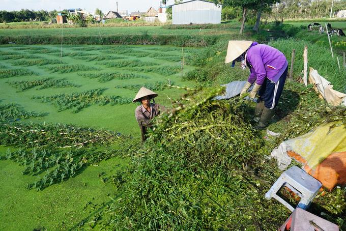Lội ao hái rau nhút kiếm hơn triệu đồng mỗi ngày ở Sài Gòn