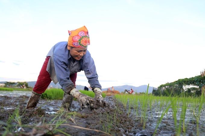 Nông dân Hà Nội đi cấy từ nửa đêm để tránh nắng nóng