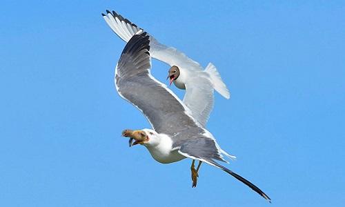 Chim mòng biển mẹ đuổi theo kẻ thù để đòi con. Ảnh: Laurie Campbell.