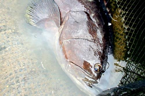 Phần đầu và thân con cá to hơn thân người lớn. Ảnh: Nguyễn Khoa
