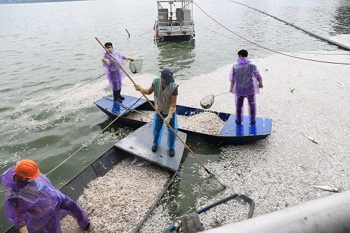 Hà Nội cho phép đánh bắt cá ở hồ Tây để giải quyết tình trạng cá chết. Ảnh: Gia Chính