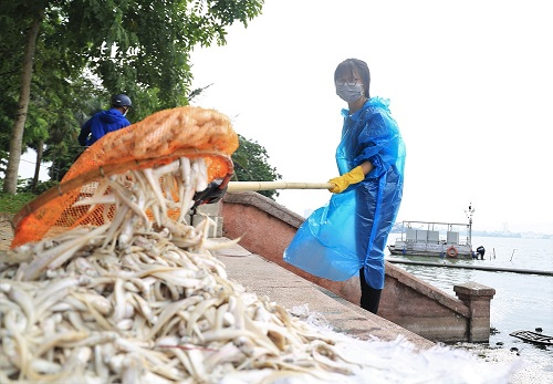 Cơ quan chức năng thu gom hơn 20 tấn cá chết trong những ngày qua. Ảnh: Gia Chính