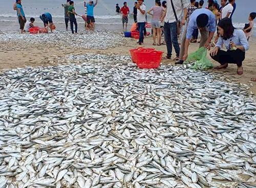 Hơn 3 tấn cá mạu dạt vào bờ, ngư dân mỏi tay bắt - ảnh 2