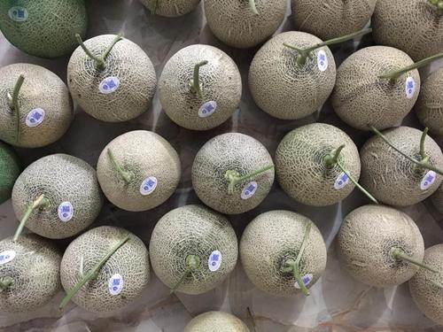 Dưa lưới Gia Phú có chất lượng đồng đều nhờ phân bổ dinh dưỡng đều khi trồng. Ảnh: NVCC