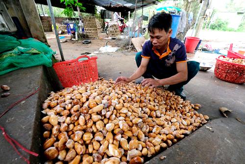Một cơ sở thu mua hạt sầu riêng ở huyện Di Linh. Ảnh: Hoàng Trường.