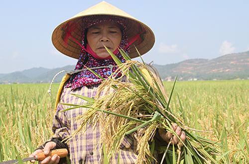 Người dân Hà Tĩnh buồn rầu vì lúa trổ bông lép hạt thời điểm tháng 5/2017. Ảnh: Đức Hùng