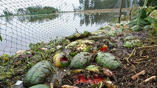 Dưa thối nổi đầy cánh đồng ở xã Quảng Nham (Thanh Hoá). Ảnh: Lê Hoàng.